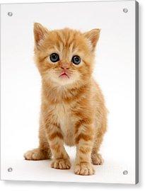 British Shorthair Red Tabby Kitten Acrylic Print by Jane Burton