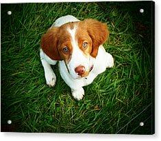 Brittany Spaniel Puppy Acrylic Print by Meredith Winn Photography