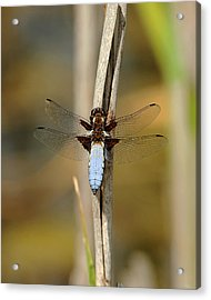 Broad Bodied Chaser Acrylic Print by Paul Scoullar