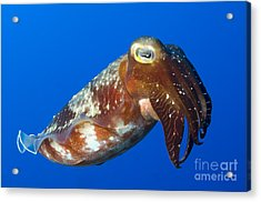 Broadclub Cuttlefish, Papua New Guinea Acrylic Print by Steve Jones