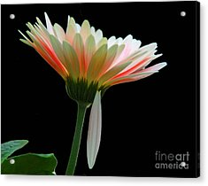 Acrylic Print featuring the photograph Broken Daisy by Cindy Manero