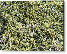 Broom (carmichaelia Fieldii) Acrylic Print by Adrian Thomas