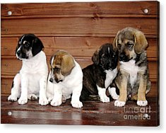 Brothers Puppies Acrylic Print by AmaS Art