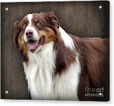 Acrylic Print featuring the photograph Brown And White Border Collie Dog by Ethiriel  Photography