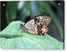 Brown And White Butterfly On Leaf Acrylic Print by Becky Lodes