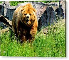 Brown Bear Acrylic Print by Barbara Walsh