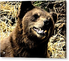 Brown Bear Smiling Acrylic Print by Derek Swift