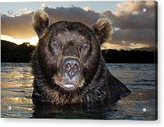 Brown Bear Ursus Arctos In River Acrylic Print by Sergey Gorshkov
