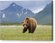 Brown Bears, Katmai National Park, Alaska, Usa Acrylic Print by Mint Images/ Art Wolfe