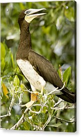 Brown Booby Sula Leucogaster Acrylic Print by Tim Laman