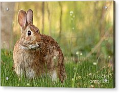 Acrylic Print featuring the photograph Brown Bunny by Denise Pohl