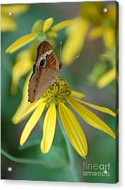 Brown Butterfly Acrylic Print by Patty Vicknair