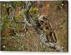 Brown Capuchin Cebus Apella Three Acrylic Print by Pete Oxford