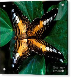 Brown Clipper Butterflies Mating Acrylic Print by Terry Elniski