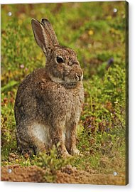 Brown Hare Acrylic Print by Paul Scoullar
