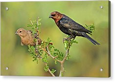 Brown Headed Cowbird Pair Acrylic Print
