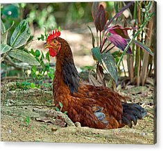 Acrylic Print featuring the photograph Brown Hen by Susi Stroud