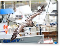 Brown Pelican . 7d8228 Acrylic Print by Wingsdomain Art and Photography