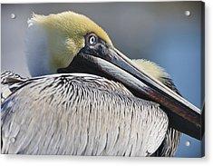 Brown Pelican Acrylic Print by Adam Romanowicz