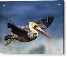 Brown Pelican Flying North America Acrylic Print