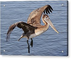 Brown Pelican In Flight Acrylic Print by Paulette Thomas
