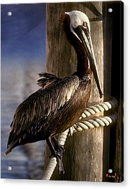 Acrylic Print featuring the photograph Brown Pelican In Key West 9l by Gerry Gantt