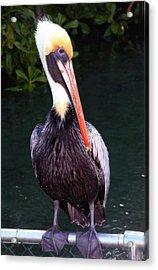 Acrylic Print featuring the photograph Brown Pelican Islamorada by Maureen E Ritter