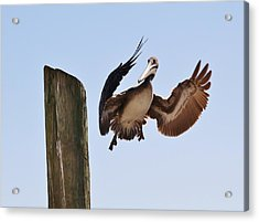 Brown Pelican Landing Acrylic Print by Paulette Thomas
