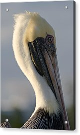 Brown Pelican Profile Acrylic Print