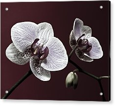 Brown Purple White Orchids Flower Macro - Flower Photograph Acrylic Print by Artecco Fine Art Photography