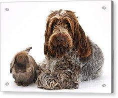 Brown Roan Italian Spinone Dog Acrylic Print