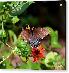 Brown Swallowtail Butterfly Acrylic Print by Eva Thomas