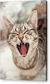 Brown Tabby Cat Yawning And Showing Teeth Acrylic Print by Kathryn Froilan