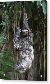 Brown Throated Three Toed Sloth Mother Acrylic Print by Suzi Eszterhas