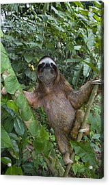 Brown-throated Three-toed Sloth Acrylic Print by Suzi Eszterhas
