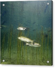 Brown Trout Acrylic Print by Alexis Rosenfeld