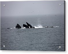 Bubble Netting Whales In Alaska Acrylic Print