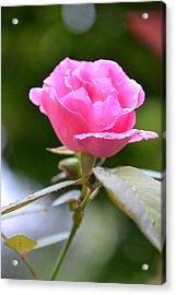 Bubblegum Rose Acrylic Print