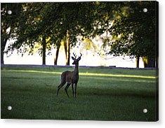 Buck At Dawn Acrylic Print