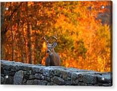 Buck In The Fall 01 Acrylic Print by Metro DC Photography