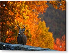 Buck In The Fall 03 Acrylic Print by Metro DC Photography