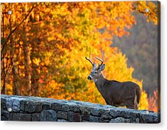 Buck In The Fall 06 Acrylic Print by Metro DC Photography