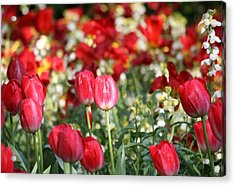 Buckingham Tulips Acrylic Print by Carrie OBrien Sibley