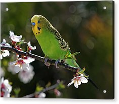 Budgie Perching On Cherry Branch Acrylic Print by QuimGranell