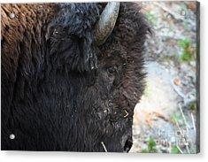 Buffalo Close Up Acrylic Print by Dave Knoll