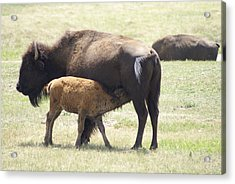 Buffalo Family Acrylic Print by Jerry Cahill