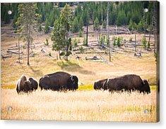 Buffalo In Golden Grass Acrylic Print