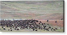 Buffalo Round-up Acrylic Print