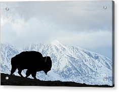 Acrylic Print featuring the photograph Buffalo Suvived Another Yellowstone Winter by Dan Friend