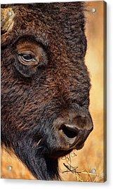 Buffalo Up Close Acrylic Print by Alan Hutchins